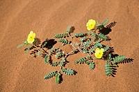 Africa, Namibia, Namib Desert, Morning star flowers Carex grayi, elevated view