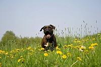Boxer im Sprung über Sommerwiese