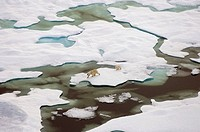 Aerial Polar Bear Sow & Cub on multi_layer ice *pans* along Arctic coast where Chukchi & Bering seas meet