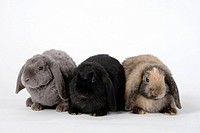 Netherlands Lop_eared Dwarf Rabbits, black and japanese, 11 weeks, and Rex Lop_eared Dwarf Rabbit, 14 weeks, lilac, Domestic Rabbit