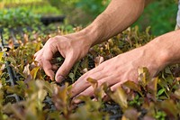 Person cultivating seedlings, close_up