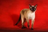 thai cat _ stehend