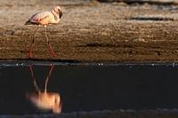 Flamingo, Phoenicopterus