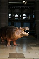 Stuffed hippo in a museum