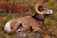 Rocky Mountain Sheep C