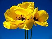 Drei Gelbe