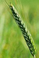 Spike of wheat in the Spring.