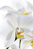 Orchid flowers.