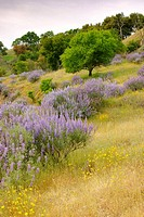 Bush Lupine and wildflowers at Knight's Ferry in the foothills of California, USA