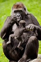 Western lowland gorilla mother holding baby (Gorilla gorilla gorilla) captive, IUCN Red list Critically endangered CR