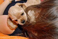ADOLESCENT WITH ANIMAL Female puppy of 7.5 weeks playing with the hair of an adolescent girl. Breed : American Cocker Spaniel Sex : Female Age : 7.5 w...