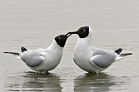 Adult black_headed gulls Larus ridibundus in courtship ritual. The picture was taken in the Somme bay in Picardy, France. Larus ridibundus  Black_head...