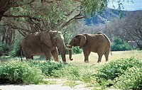 Elephants, picture taken in the Damaraland Palwag in the province of Erongo in Namibia. Loxodonta sp  Elephant  Elephantid  Mammal