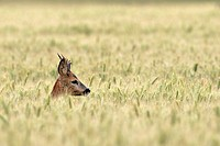 Western roe deer Male European roe deer Capreolus capreolus called yearling male deer in a wheat field, picture was taken in summer in Picardy, France...