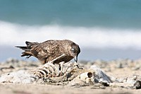 Great skua Great skua Stercorarius skua next to an animal skeleton, Shetland Islands, Scotland. Stercorarius skua  Great skua  Skua  Stercorariid  Sea...