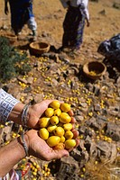 Photo essay about argan oil in Morocco : from the cropping to the bottling. Cropping of the argans in Ait Baha, in the south_west of Morocco. Oil arga...
