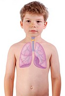 RESPIRATORY TRACT DRAWING The lungs, the trachea and the thyroid gland in a 6_year_old boy.