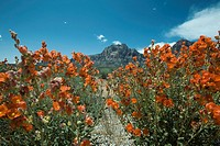 Desert landscape, colorful flowers in foreground, mountain in background
