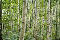 Forest of aspen trees, selective focus