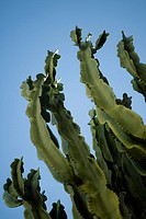 Euphorbia cactus, low angle view