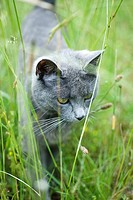 Cat walking in grass, close-up