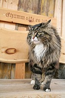 Switzerland, Europe, Outdoor, Outdoors, Outside, alpine, alps, mountain, mountains, rural, tabby cat, pets, pet, cats,