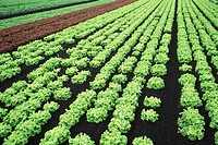 Field of coral lettuce