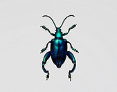 Frog_legged leaf beetles