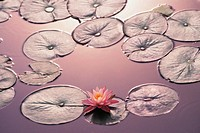Water lily among lily pads