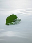 Ficus leaf floating on water