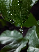 Wet ficus leaves
