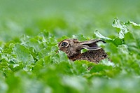 European brown hare in a field, Lepus europaeus, Summer, Germany