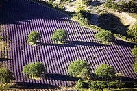 France  Provence Sault en Provence  Lavender fields