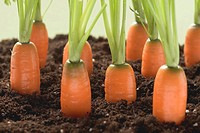 Carrots in soil (thumbnail)