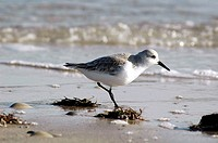A sandpiper runs on the beach, Long Beach Island, New Jersey, USA