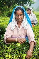 Woman picking leaves from tea plant, Periyar Connemara Estate, Vandiperiyar, Kerala, India
