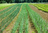 Onion Rows Growing on a Farm