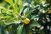 Bee on fruit tree