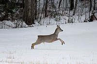 Young roe-buck Capreolus capreolus on a snow-covered meadow in late winter
