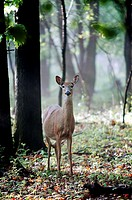 A white_tailed doe deer checks out a visitor in an early morning forest, Pennsylvania, USA