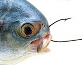 Florida Pompano Fish caught on a Fish Hook