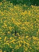 Field of Calendula officinalis flowers. Calendula officinalis L. pot marigold, calendula, garden marigold, marigold, marygold. Garten_Ringelblume, Rin...