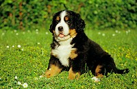 Bernese mountain dog puppy _ sitting on meadow