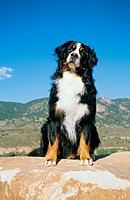 Bernese Mountain dog _ sitting