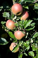 Jonagored apple _ Apple acidulous, sweet, scented and juicy