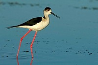 Black-winged Stilt (Himantopus himantopus) in Jabalon reservoir. Ciudad Real province, Castilla-La Mancha, Spain