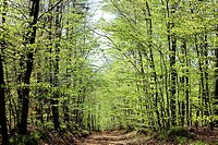 Footpath in beech and birch grove, Vosges mountains forest, Lorraine, France