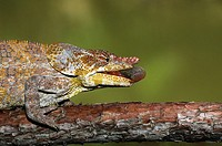 Short-horned or Elephant-eared chameleon (Calumma brevicorne), male