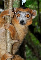Common Brown Lemur (Eulemur fulvus), male