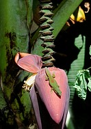 Gecko (Phelsuma madagascariensis) on banana plant blooming